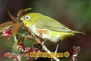 Chestnut-flaked White-eye coloring #20, Download drawings