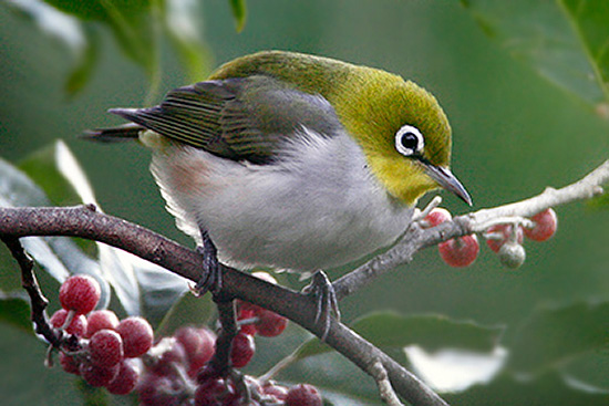 Chestnut-flaked White-eye coloring #3, Download drawings