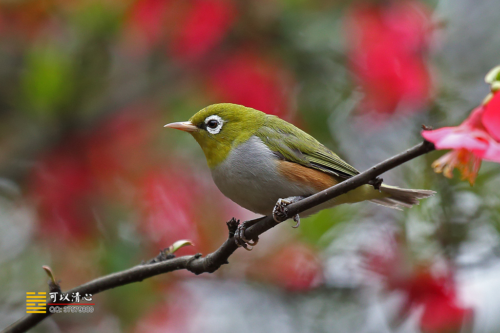 Chestnut-flaked White-eye coloring #9, Download drawings