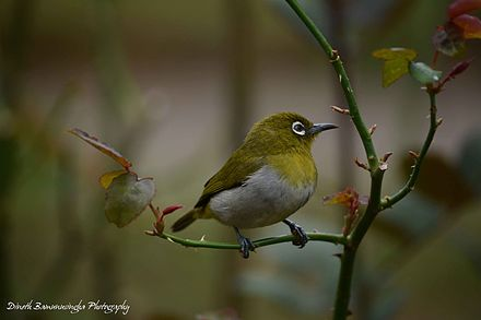 Chestnut-flaked White-eye svg #1, Download drawings