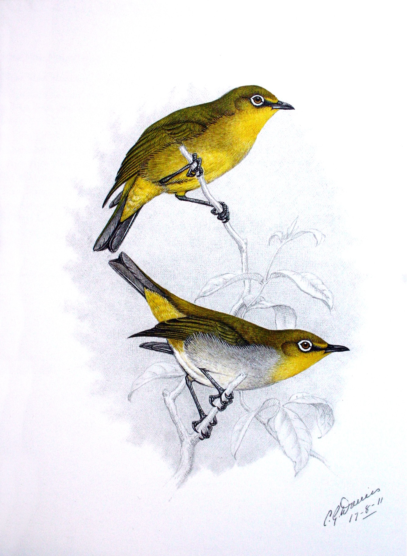 Chestnut-flaked White-eye svg #12, Download drawings