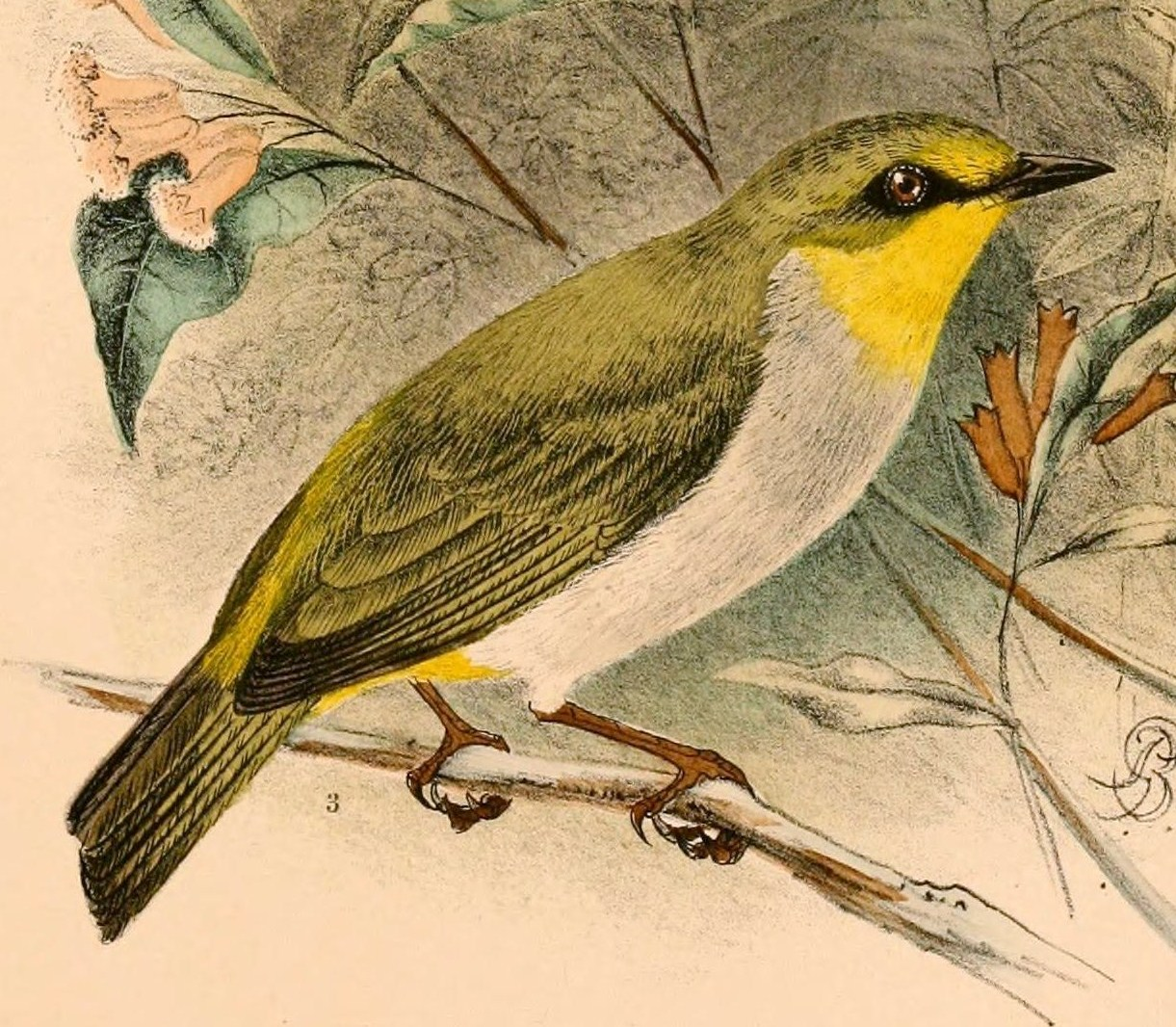 Chestnut-flaked White-eye svg #10, Download drawings