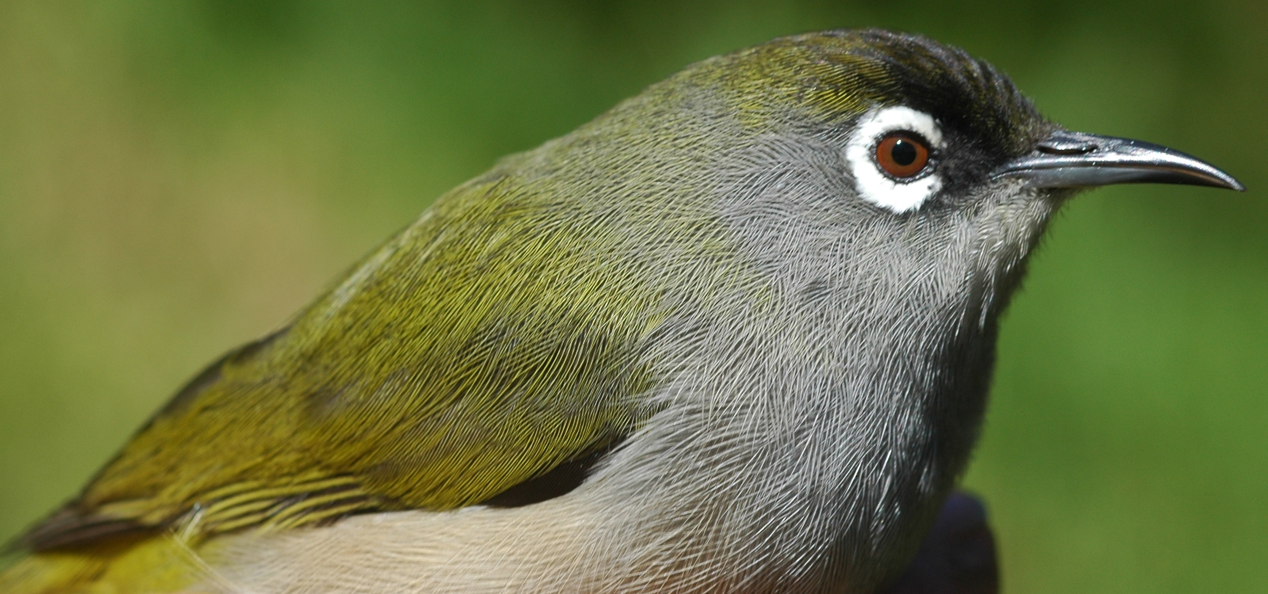Chestnut-flaked White-eye svg #9, Download drawings