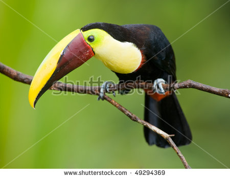 Chestnut-mandibled Toucan clipart #12, Download drawings
