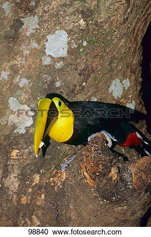 Chestnut-mandibled Toucan clipart #13, Download drawings