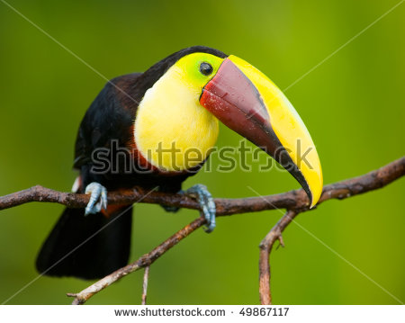 Chestnut-mandibled Toucan clipart #7, Download drawings