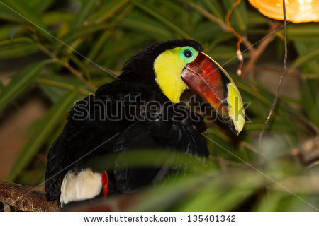 Chestnut-mandibled Toucan clipart #6, Download drawings