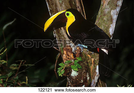Chestnut-mandibled Toucan clipart #17, Download drawings