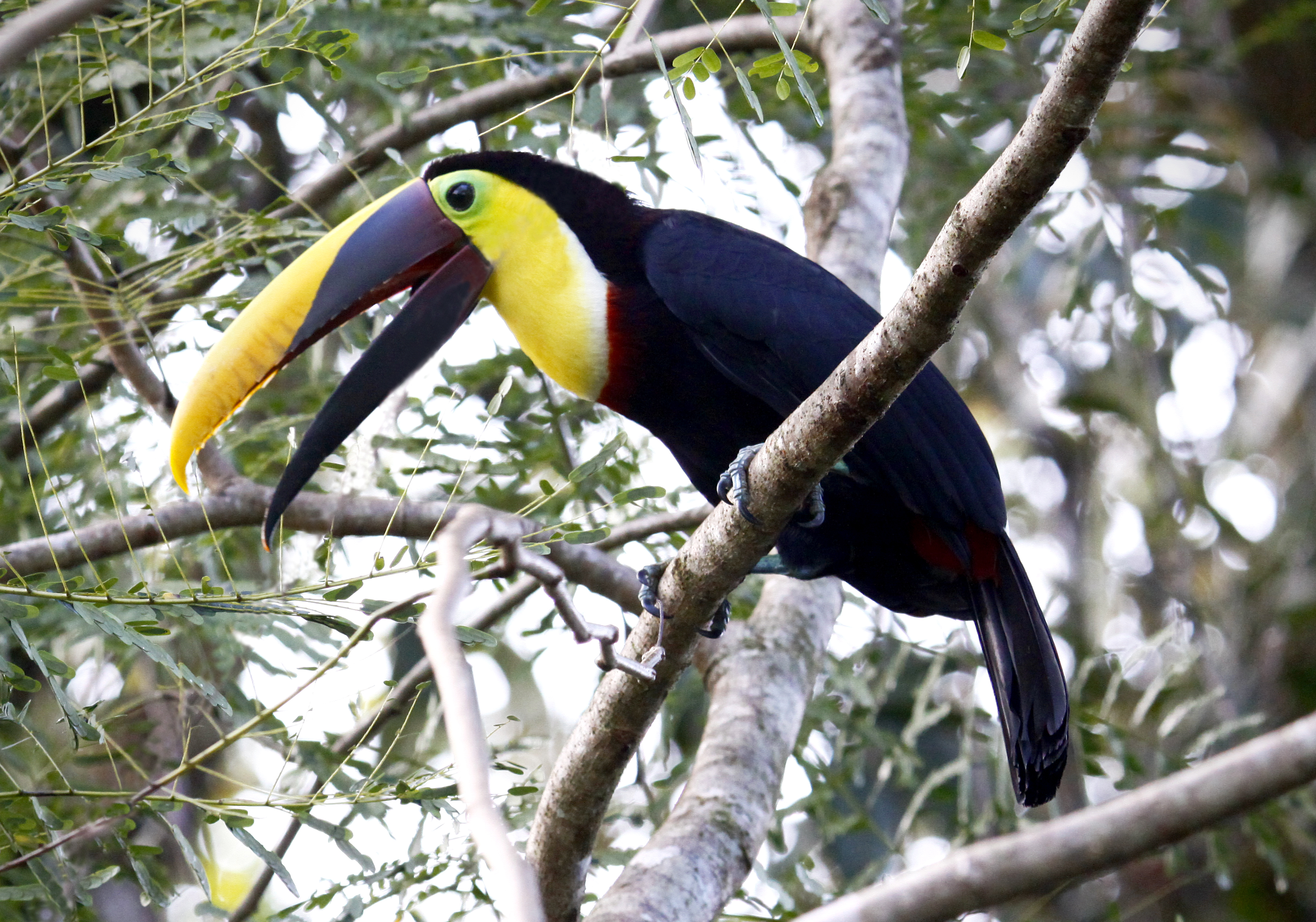 Chestnut-mandibled Toucan svg #8, Download drawings