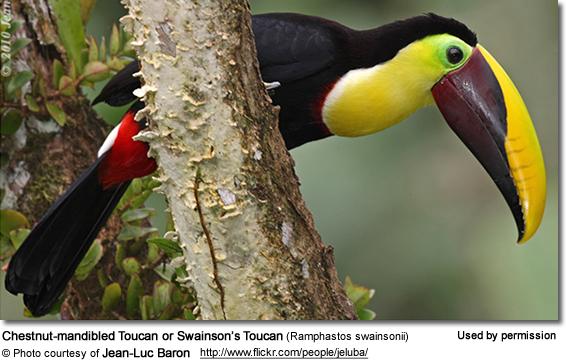 Chestnut-mandibled Toucan coloring #15, Download drawings