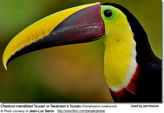 Chestnut-mandibled Toucan svg #20, Download drawings