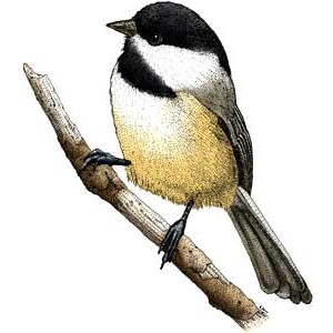 Chickadee clipart #4, Download drawings