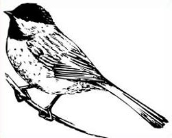 Chickadee clipart #16, Download drawings