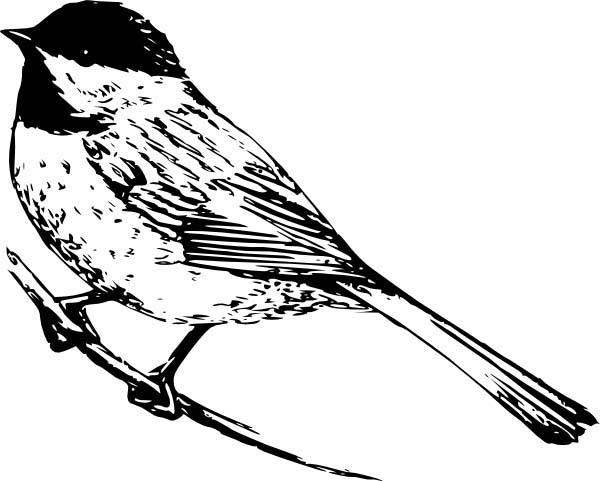 Chickadee coloring #13, Download drawings