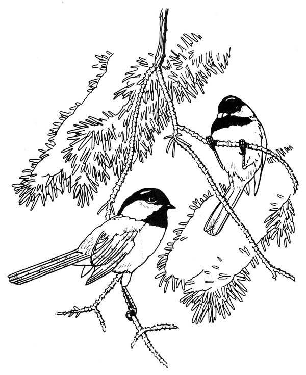 Chickadee coloring #7, Download drawings