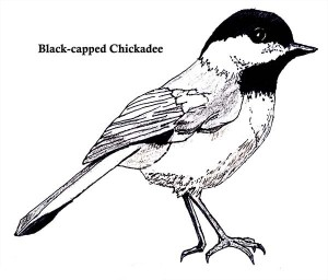 Chickadee coloring #8, Download drawings