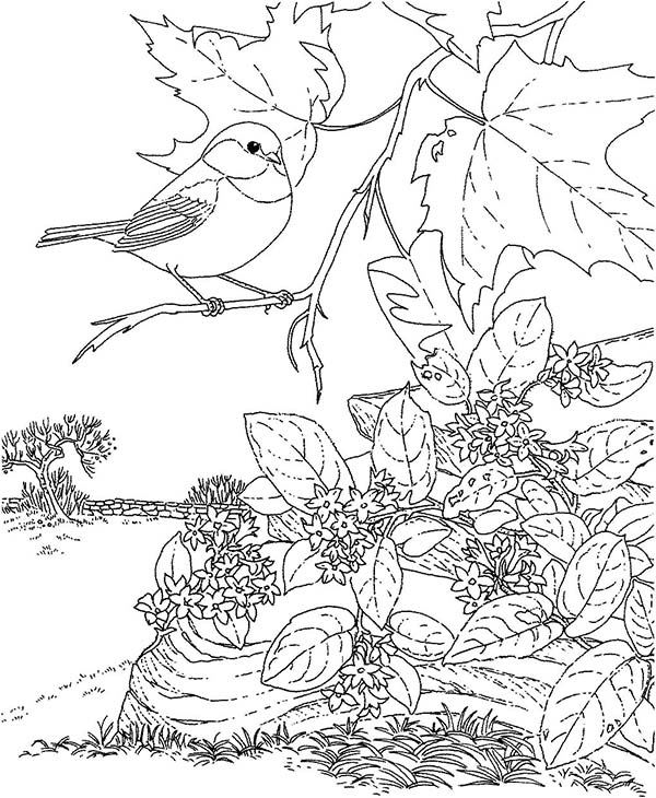 Chickadee coloring #3, Download drawings