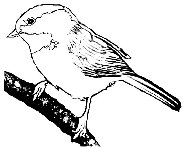 Chickadee coloring #19, Download drawings