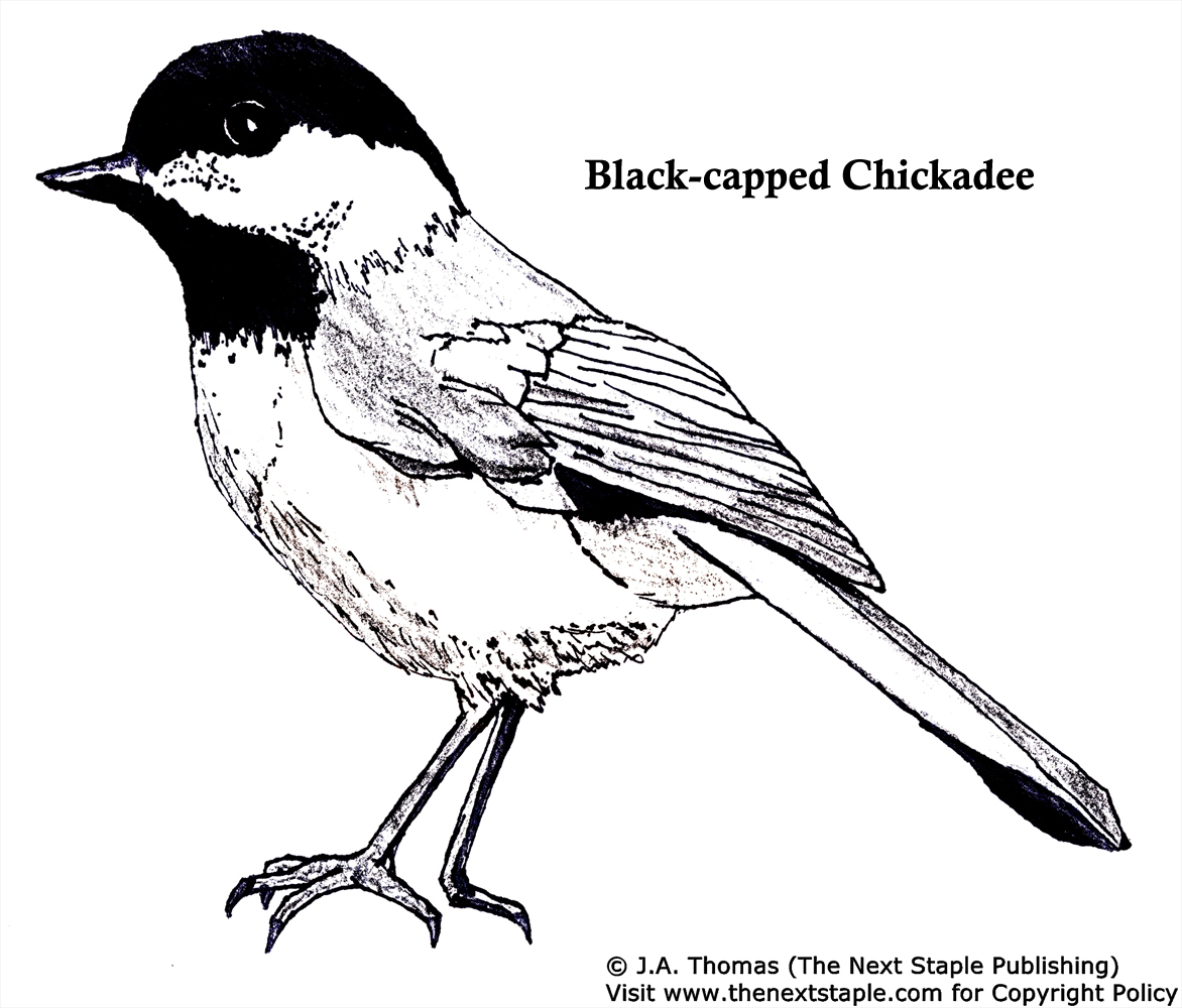 Chickadee coloring #11, Download drawings