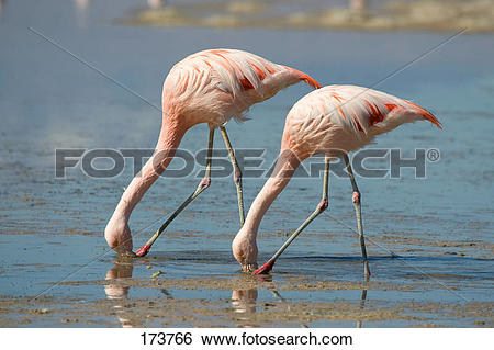 Chilean Flamingo clipart #15, Download drawings