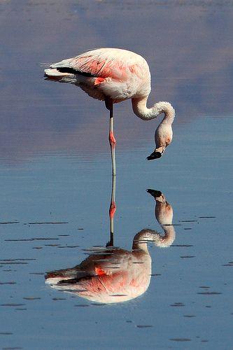 Chilean Flamingo coloring #2, Download drawings