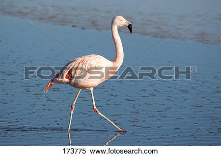 Chilean Flamingo clipart #18, Download drawings