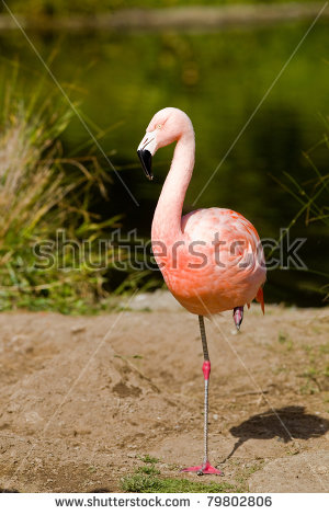 Chilean Flamingo clipart #13, Download drawings