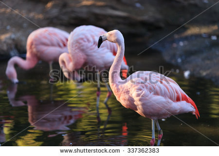 Chilean Flamingo clipart #17, Download drawings