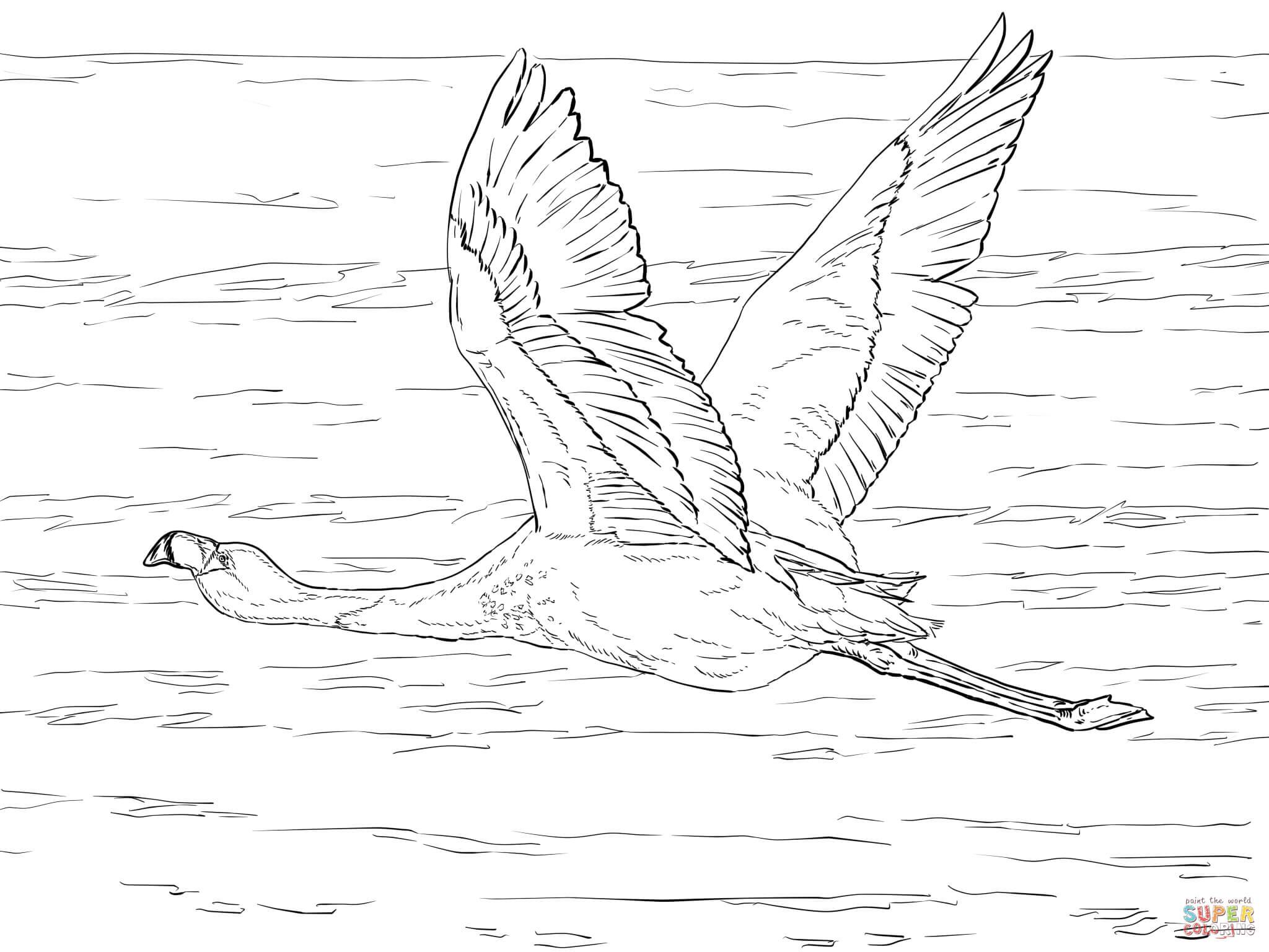 Chilean Flamingo coloring #18, Download drawings