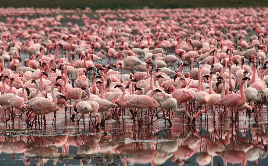 Chilean Flamingo coloring #10, Download drawings