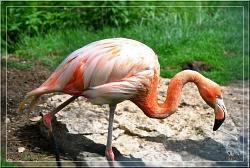 Chilean Flamingo coloring #14, Download drawings