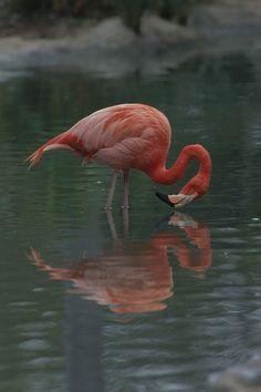 Chilean Flamingo coloring #7, Download drawings