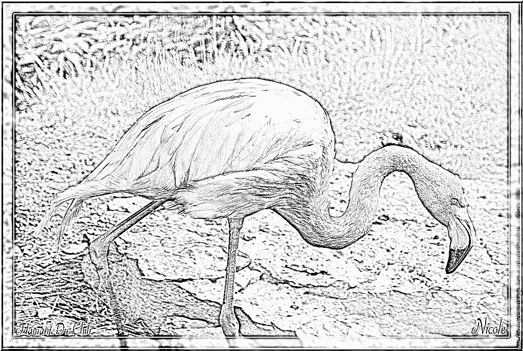 Chilean Flamingo coloring #4, Download drawings