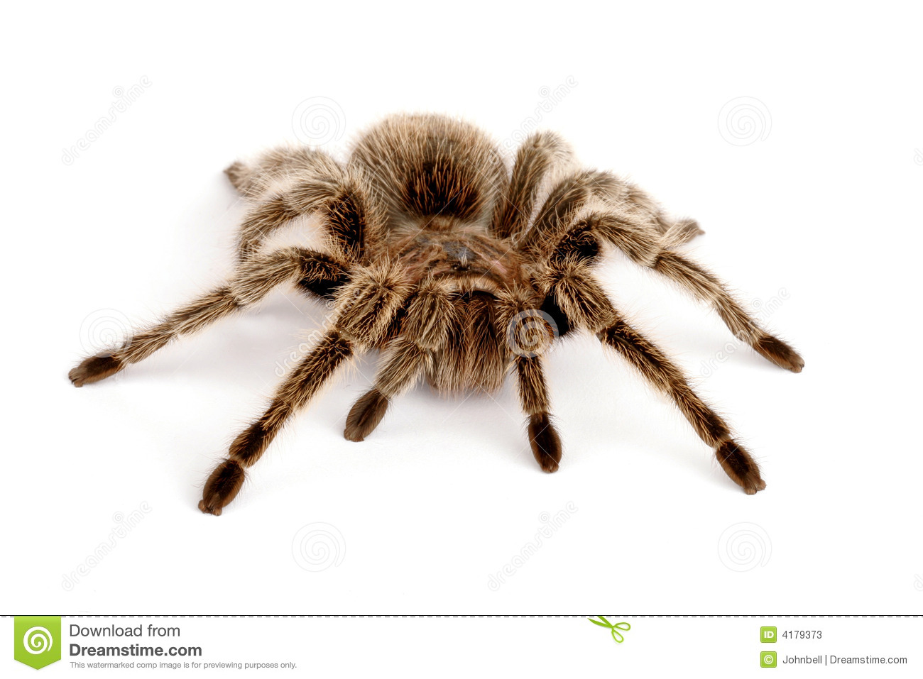 Chilean Rose Tarantula clipart #20, Download drawings