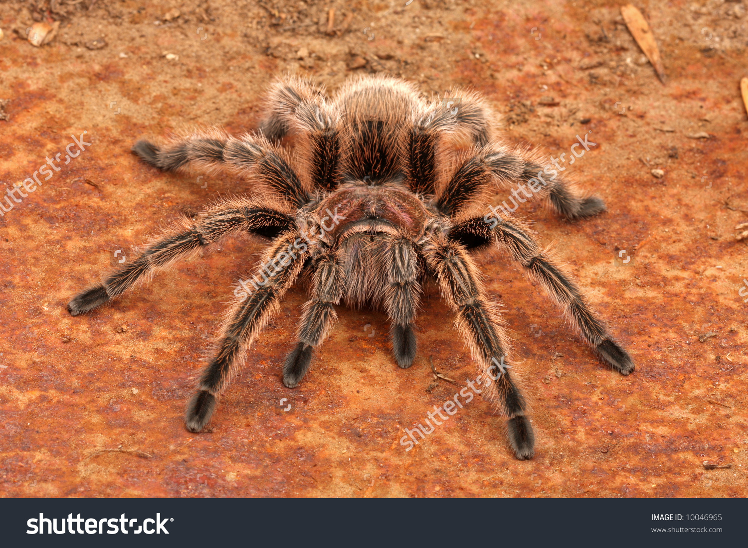 Chilean Rose Tarantula clipart #8, Download drawings