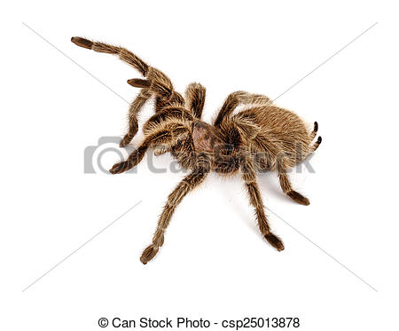 Chilean Rose Tarantula clipart #11, Download drawings
