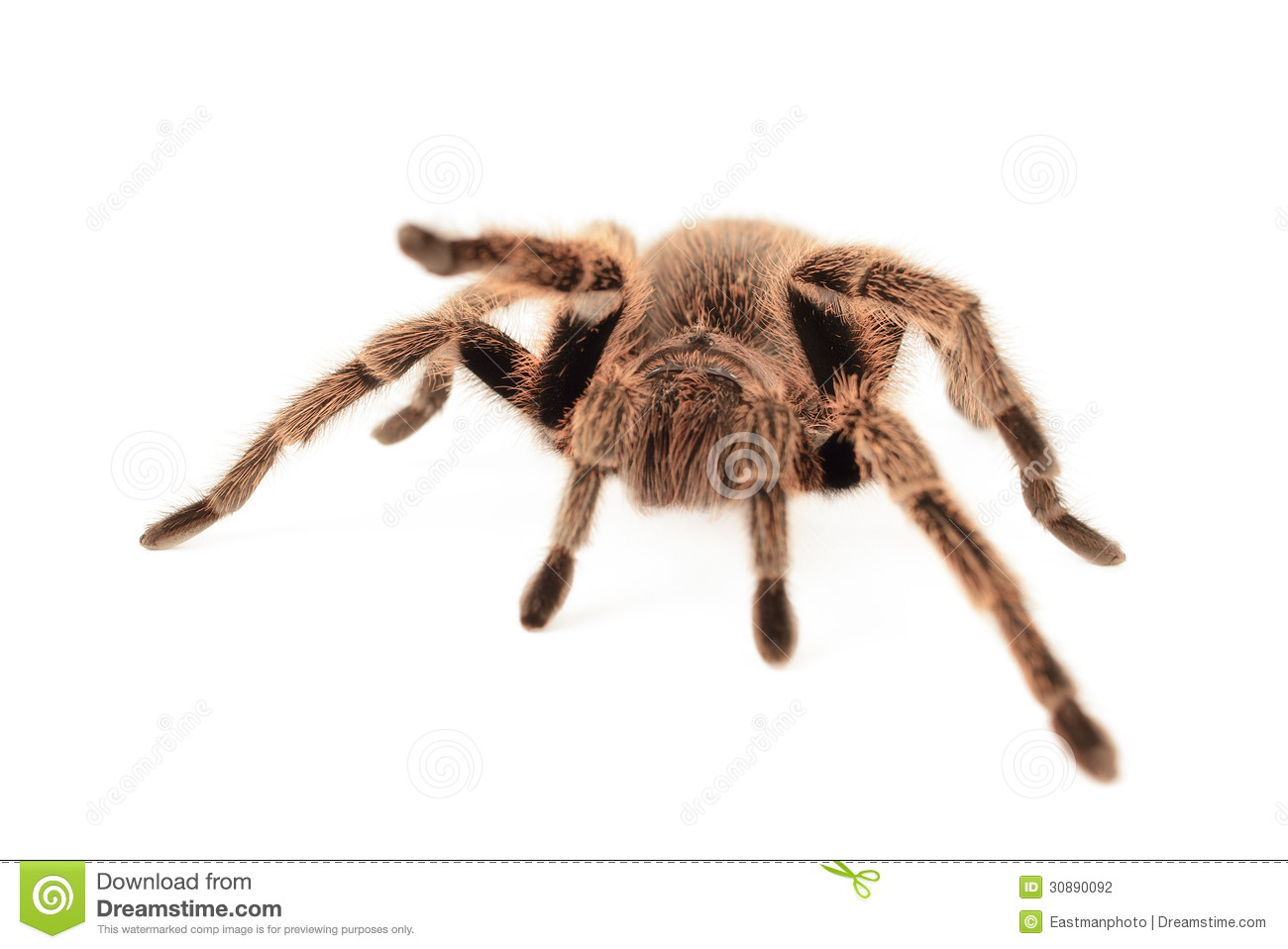 Chilean Rose Tarantula clipart #12, Download drawings