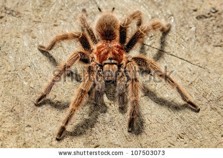 Chilean Rose Tarantula clipart #10, Download drawings