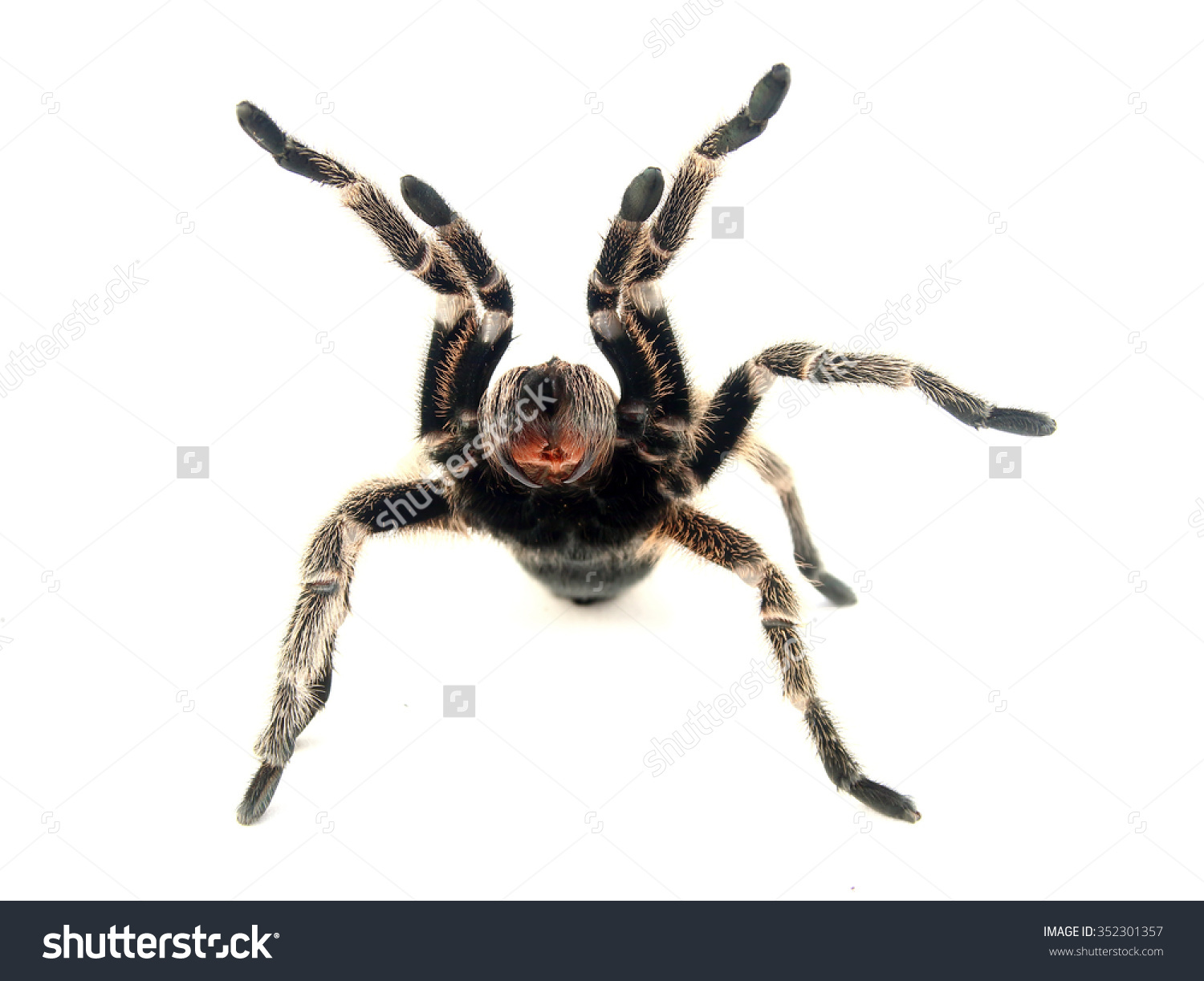 Chilean Rose Tarantula clipart #2, Download drawings