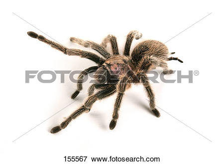 Chilean Rose Tarantula clipart #9, Download drawings
