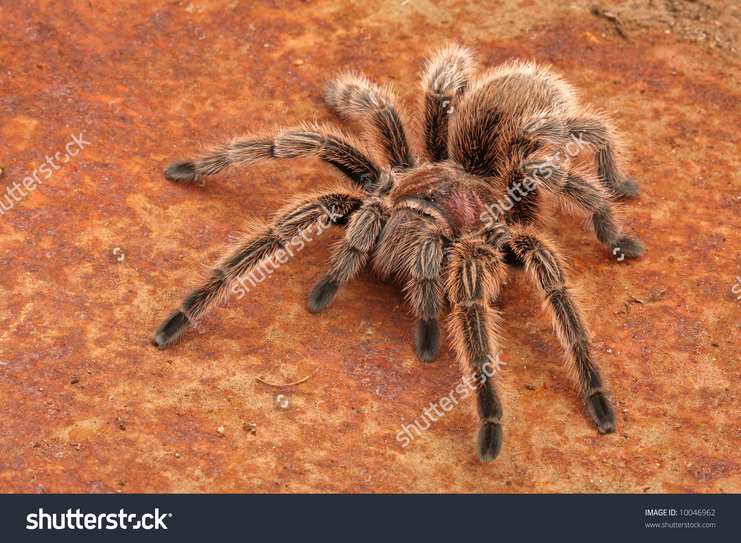 Chilean Rose Tarantula clipart #3, Download drawings