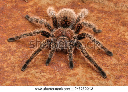Chilean Rose Tarantula clipart #4, Download drawings