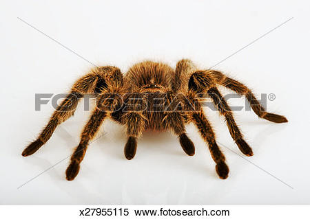 Chilean Rose Tarantula clipart #19, Download drawings