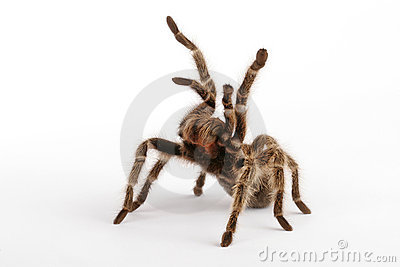 Chilean Rose Tarantula clipart #5, Download drawings