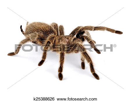 Chilean Rose Tarantula clipart #18, Download drawings