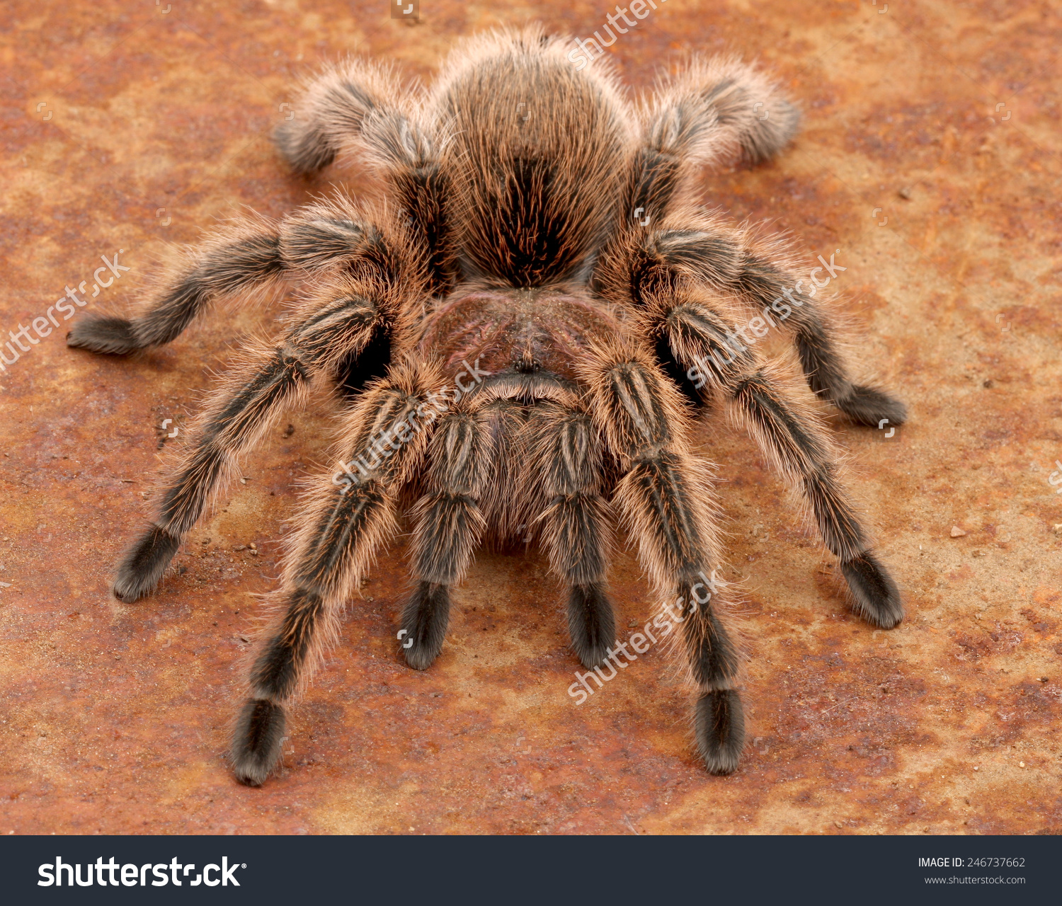 Chilean Rose Tarantula clipart #7, Download drawings