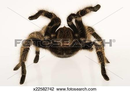 Chilean Rose Tarantula clipart #17, Download drawings
