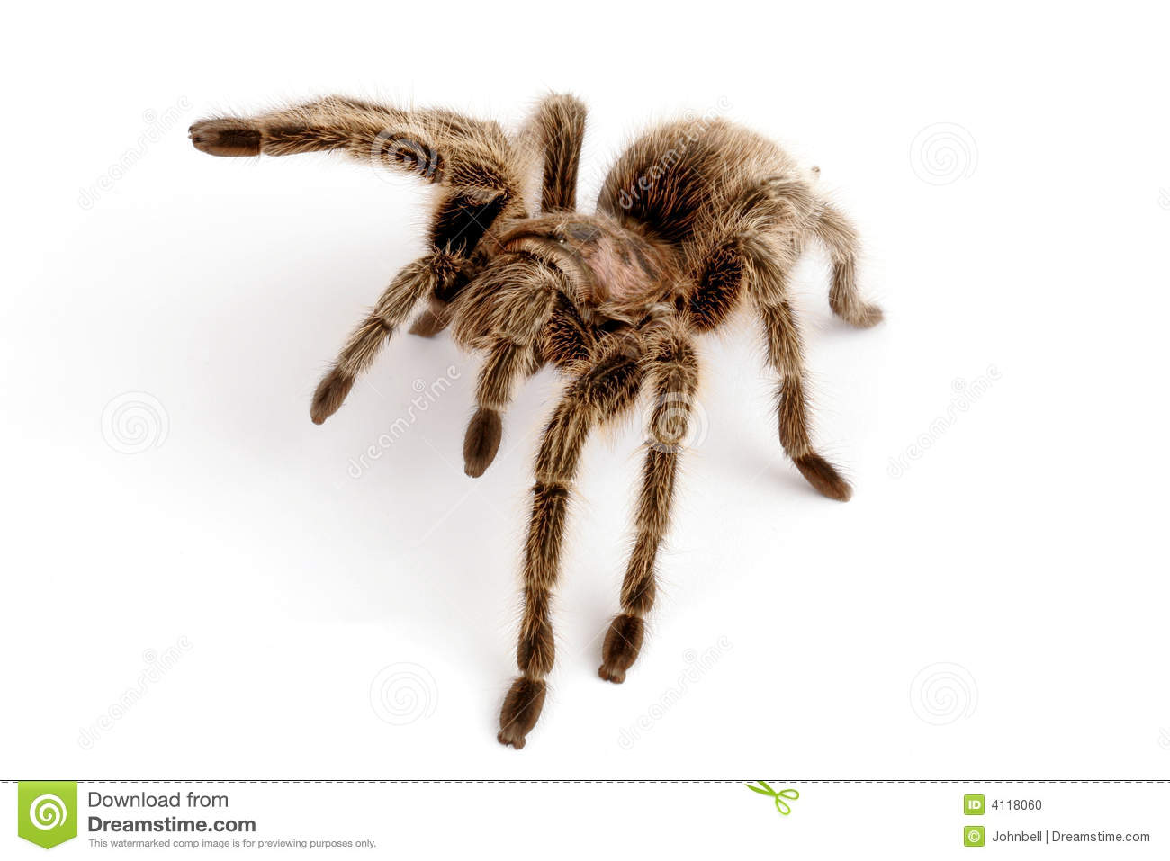 Chilean Rose Tarantula clipart #14, Download drawings
