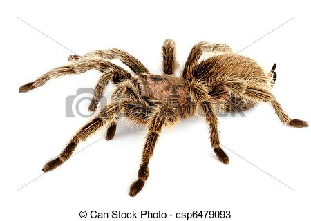 Chilean Rose Tarantula clipart #13, Download drawings
