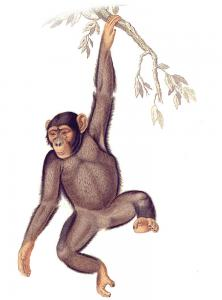 Chimpanzee clipart #6, Download drawings